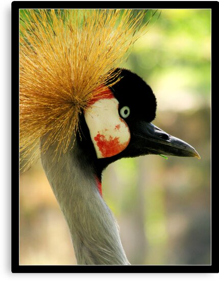 suspicious gray crowned crane by chen cohen