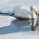 christmas day swan by jude walton