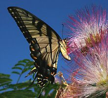 Eastern Tiger Swallowtail by John Valachovic