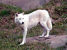 Young Arctic Wolf by Johnny Furlotte