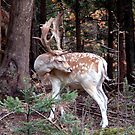 Fallow Deer Buck by Johnny Furlotte
