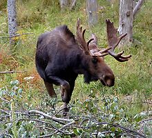Bull Moose by Johnny Furlotte