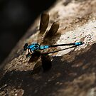 Dragonfly - Crystal Cascades - Cairns - Queensland - Australia by Paul Davis