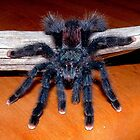 Pink-toed Tarantula by Johnny Furlotte