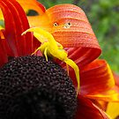 My Friend The Yellow Crab Spider by Tracy Wazny