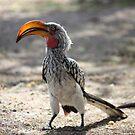 Yellow Billed Hornbill by HELUA