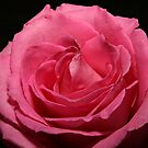 Pink Rose by BigD