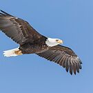 American Bald Eagle 2015-21 by Thomas Young
