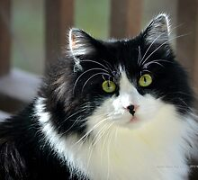 Male Tuxedo Maine Coon Cat | Middle Island, New York  by © Sophie W. Smith