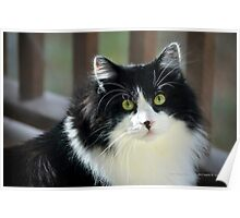 Male Tuxedo Maine Coon Cat | Middle Island, New York  Poster
