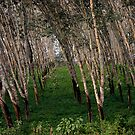 Dusk in the Rubber Trees by Wayne King