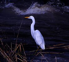 Great Egret in the Shadows by Chuck Gardner