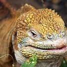 Land Iguana by Sue  Cullumber