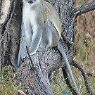 Vervet Monkey (Chlorocebus pygerythrus), Moremi Game Reserve, Botswana, Africa by Adrian Paul