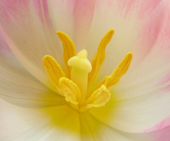 Tulip Closeness by JuliaWright