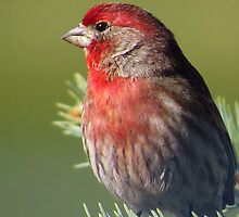 Finch in the Evergreen by lorilee