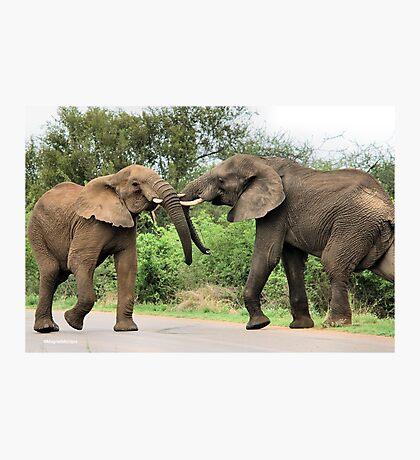 INTERACTION - THE AFRICAN ELEPHANT – Loxodonta Africana - Afrika Olifant Photographic Print