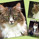 Maine Coon Cat by Koala