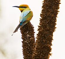 Bee Eater by Claire  Farley
