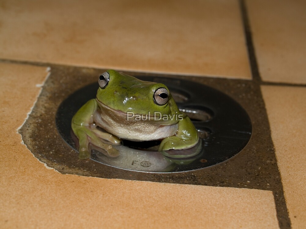 Frog in a Hole - Cairns - Queensland - Australia by Paul Davis