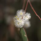 Flowering Eucalyptus by Joy Watson