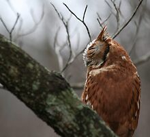 EASTERN SCREECH OWL - SIDE VIEW by Lori Deiter