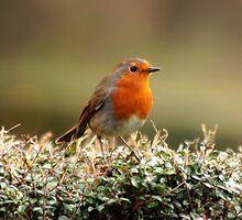 Robin by LisaRoberts
