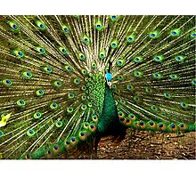 Peacock at Melbourne Zoo   Photographic Print