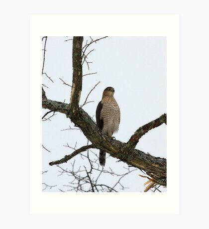 Cooper's Hawk on Watch Art Print