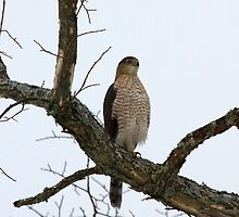 Cooper's Hawk on Watch by lloydsjourney