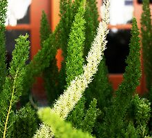 Asparagus ferns by Trish Peach