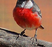 Crimson Chat (Epthianura tricolor), Northern Territory, Australia by Adrian Paul