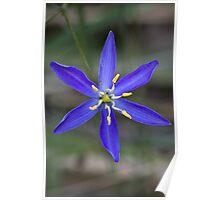 Tufted Blue Lily - Thelionema caespitosum Poster