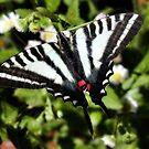 Zebra Swallowtail Tending Daisies by Ron Alcorn