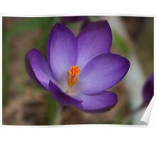 Purple Crocus Poster