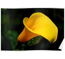 Golden Calla Lily Poster