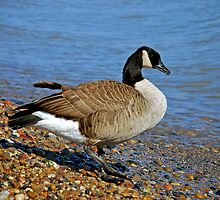 Goose by jack8