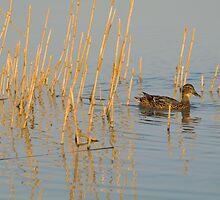 Female Mallard Duck by Inimma