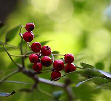 Red Berries by Evert Lancel