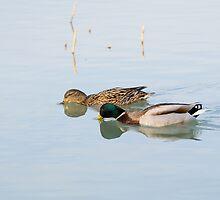 Pair of Mallard Ducks by Inimma