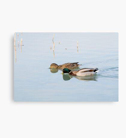 Pair of Mallard Ducks Canvas Print