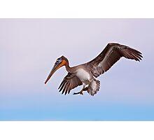 Brown Pelican Photographic Print