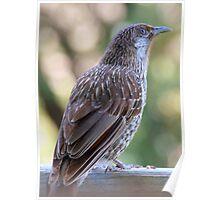 Wattle Bird Poster