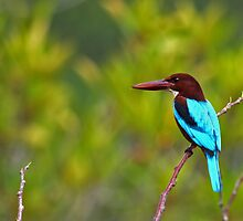 White Breasted Kingfisher - Sri Lanka by David Clark