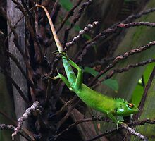 Green Forest Lizard - Sri Lanka by David Clark