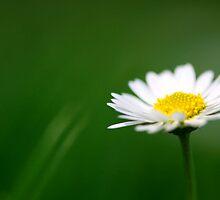 Daisy by Evert Lancel