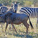 Zebra & Wildebeest, Khama Rhino Sanctuary, Botswana, Africa by Adrian Paul