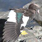 Kelp Goose tries to impersonate a Peacock by ellismorleyphto