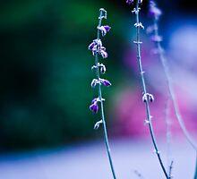 Lavender Days by Jaime de la Cruz