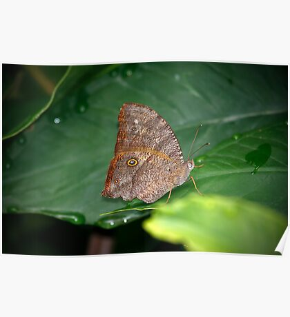 Melanitis leda (Evening Brown) Butterfly Poster